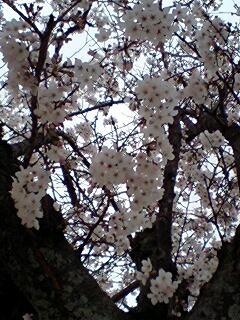 070402桜