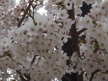 2007_0407_桜①
