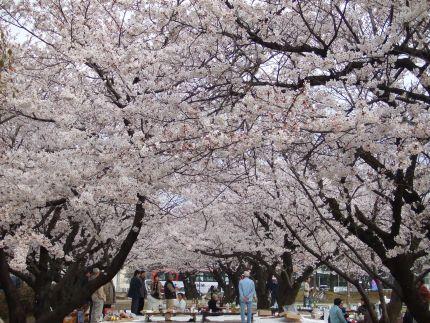 2007_0407_桜③