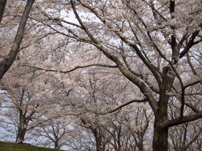 2007_0411_桜