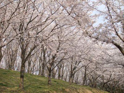 2007_0411_桜②