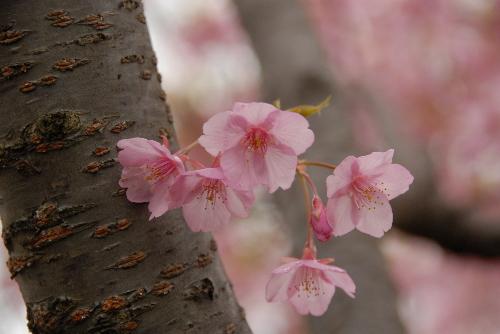鶴見緑地sakura02