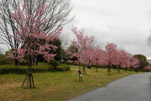 鶴見緑地sakura03