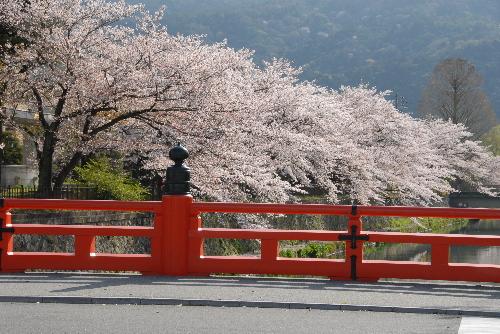 平安神宮 桜02