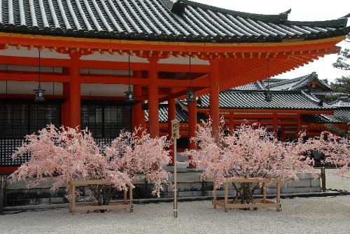 平安神宮 桜06