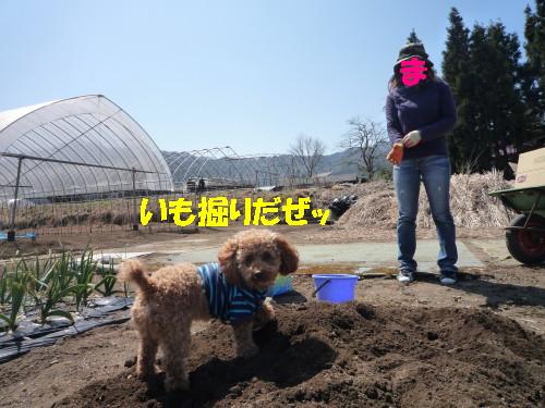 イモ掘り1