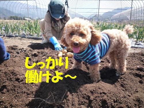 イモ掘り3