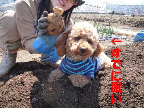 イモ掘り5