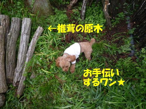 椎茸の原木