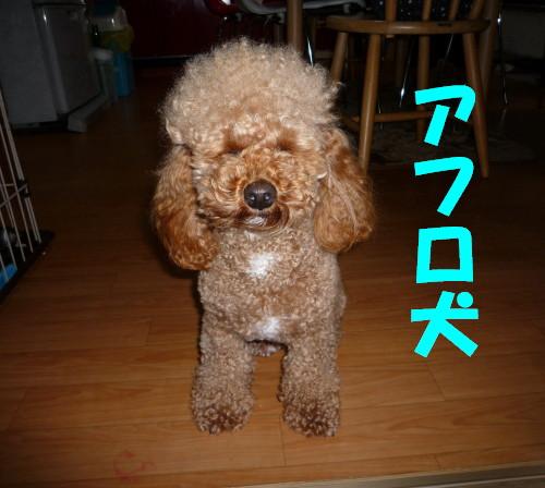 アフロ犬1_1