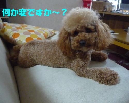 アフロ犬2_1
