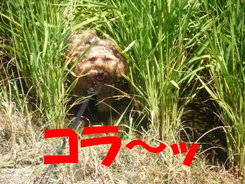 7 田んぼ犬
