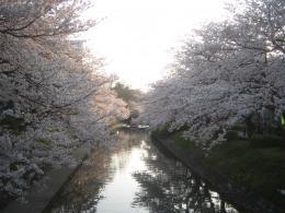 sakura (1)