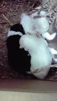 100117 乳飲み子5匹 生後約一週間
