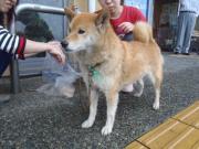 迷子シバ犬②2010.7.3