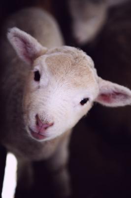 lamb-oreobox.jpg