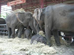 パニヤッド 藁とたわむれる象たち