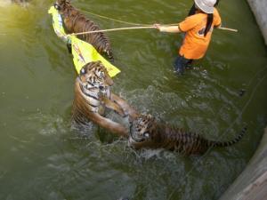 Tiger Temple 大トラと遊べるらしい