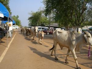 Tiger Temple に帰っている牛たち