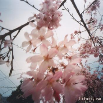 2007pinsakura.jpg