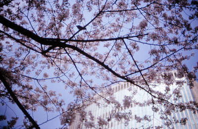 tokainosakura1s.jpg
