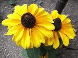 ひまわりっぽい花