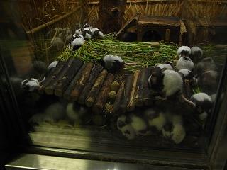 パンダネズミ