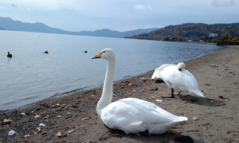 白鳥と洞爺湖