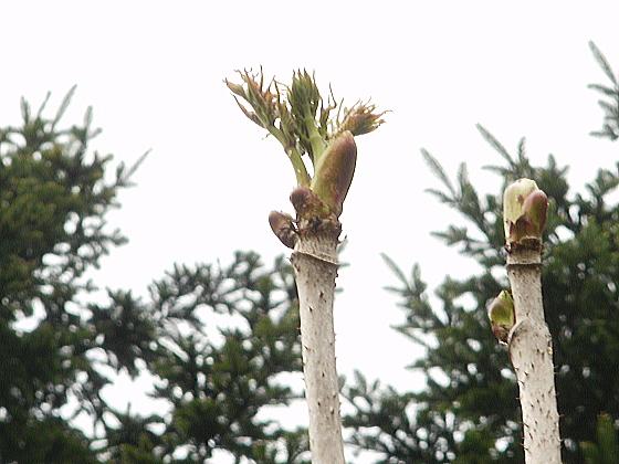 りっぱなタランボの芽です。