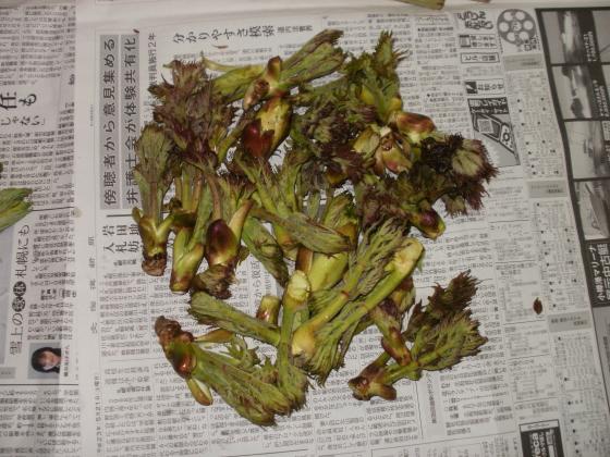 本日の収穫です。タランボの芽です。