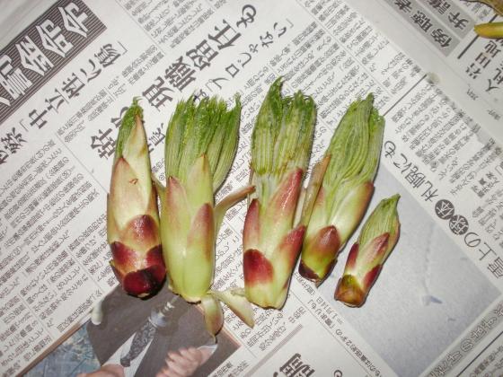 本日の収穫です。ハリギリの芽です。