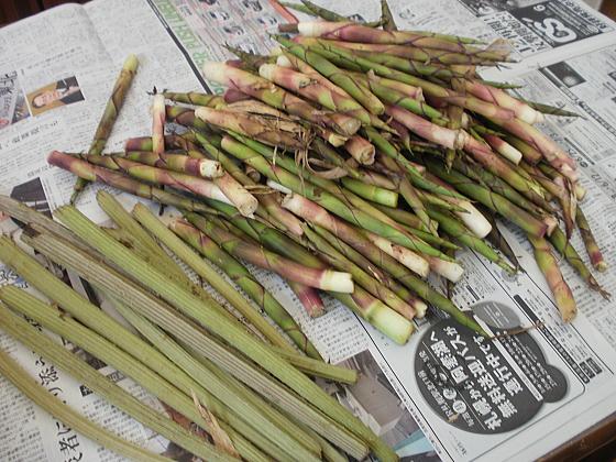 本日の収穫、大量のタケノコとフキです