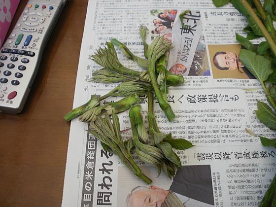 ウドの若芽です。天ぷら用です