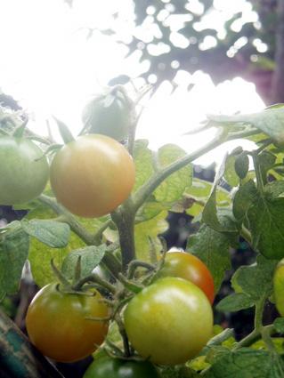実家トマト