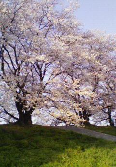 京都桜01