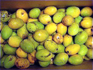 台湾のマンゴー