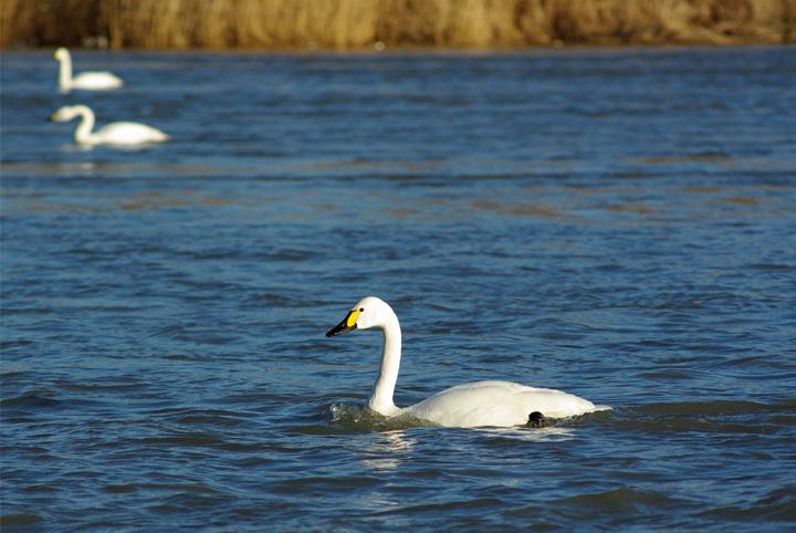 swan00.jpg