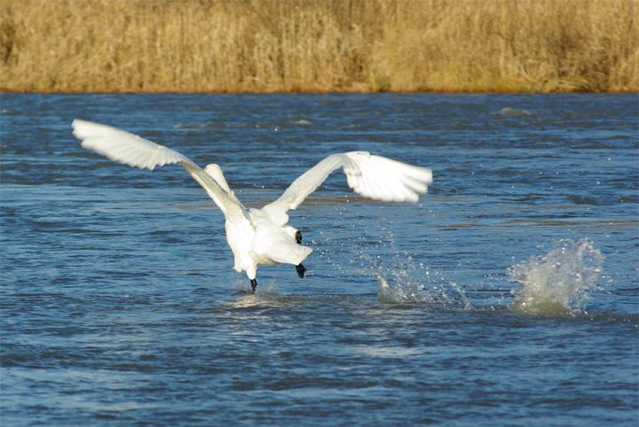 swan05.jpg