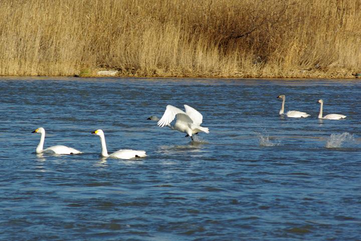 swan06.jpg