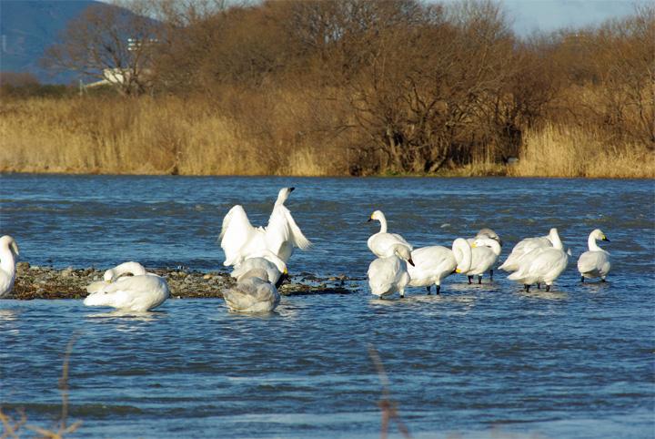 swan10.jpg