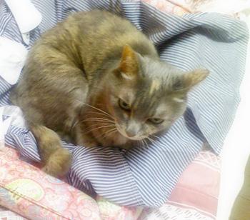 可愛い猫ちゃん写真を頂きました♪ パステル・サビ猫という種類だそうです。