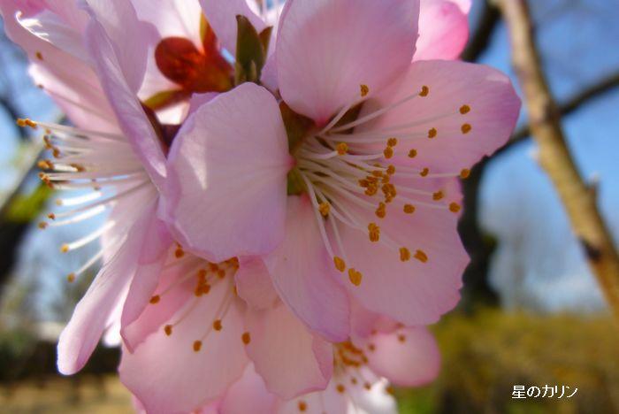 アーモンドの花3