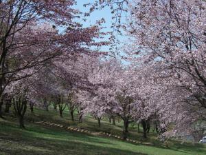 桜0905-5