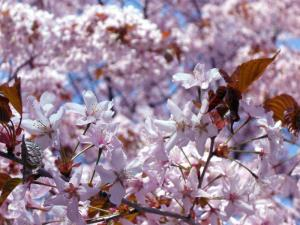 桜0905-1