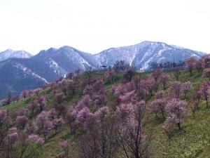 桜0905-3