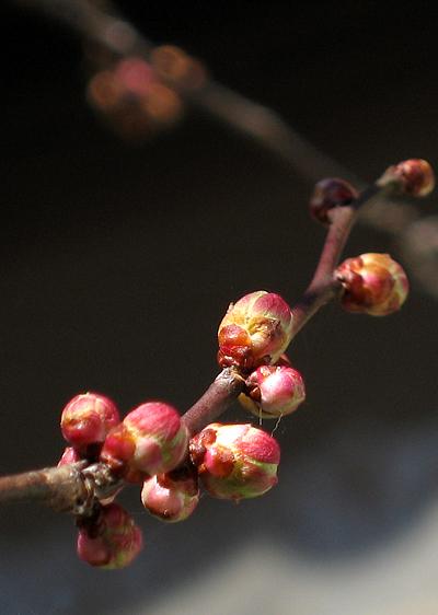 2009-0201梅のつぼみ