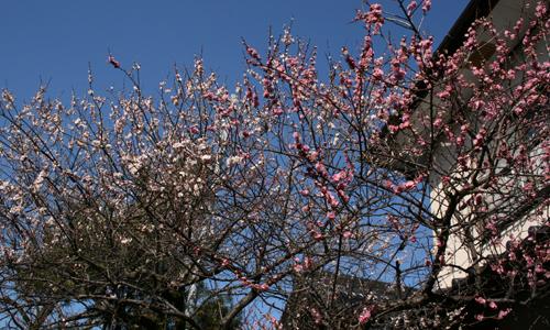 2009-0216二色の梅満開