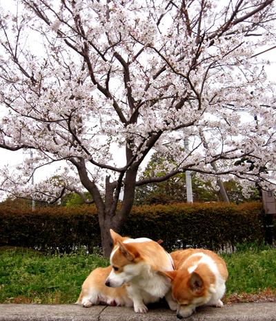 公園の桜と