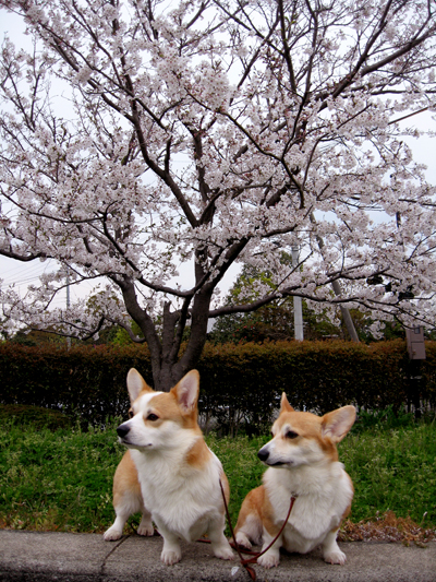2009-0328公園の桜