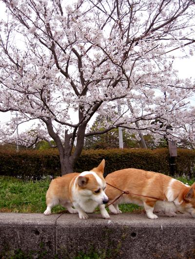 公園の桜と2